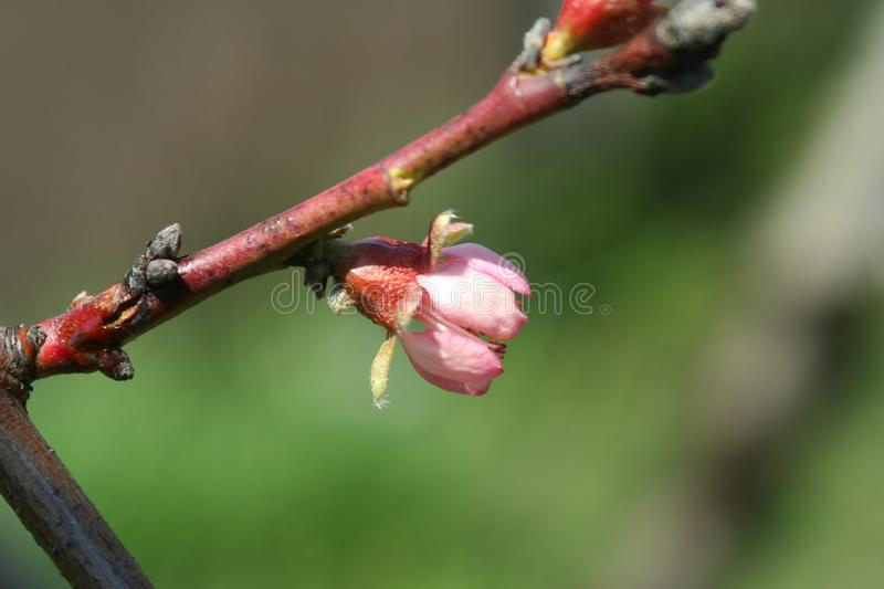Flowering peach tree. May sunny day, pink peach flower on a tree branch in the May green garden stock photo