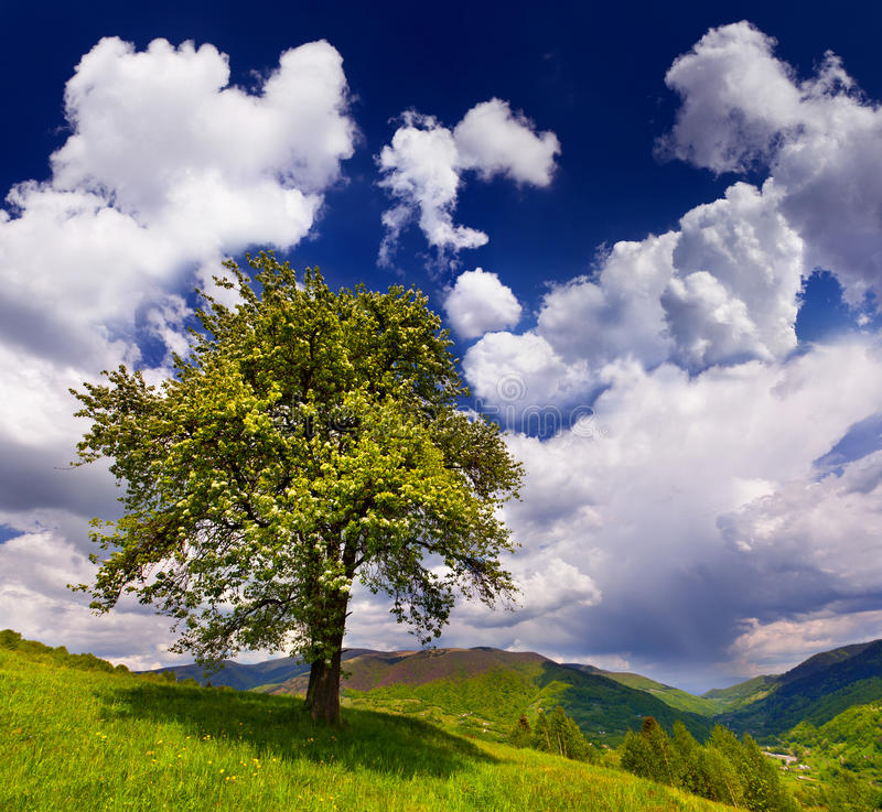 Free Flowering Pear Tree Royalty Free Stock Image - 20689906