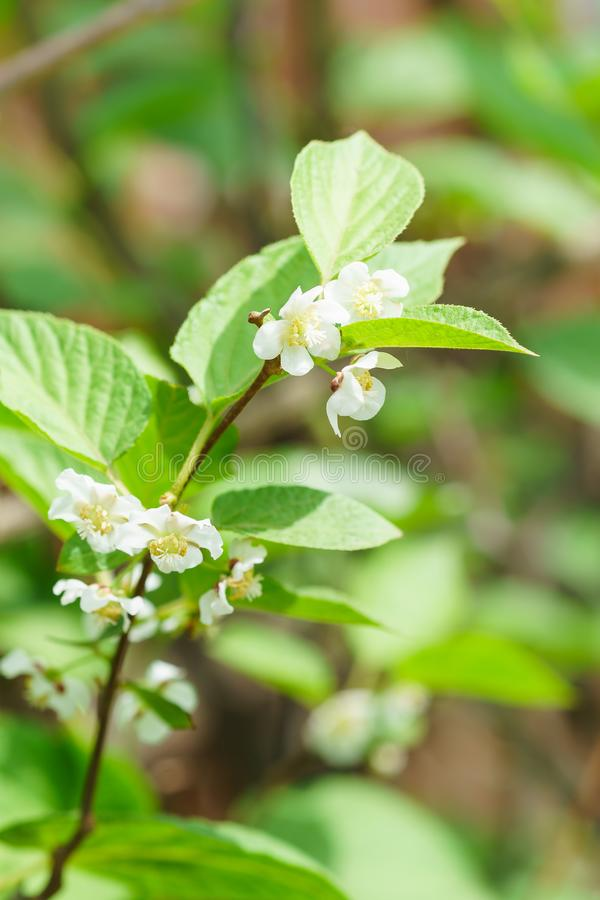 Flowering perennial shrub vines Actinidia colomicta lat. Actinidia kolomikta, or slider royalty free stock photos
