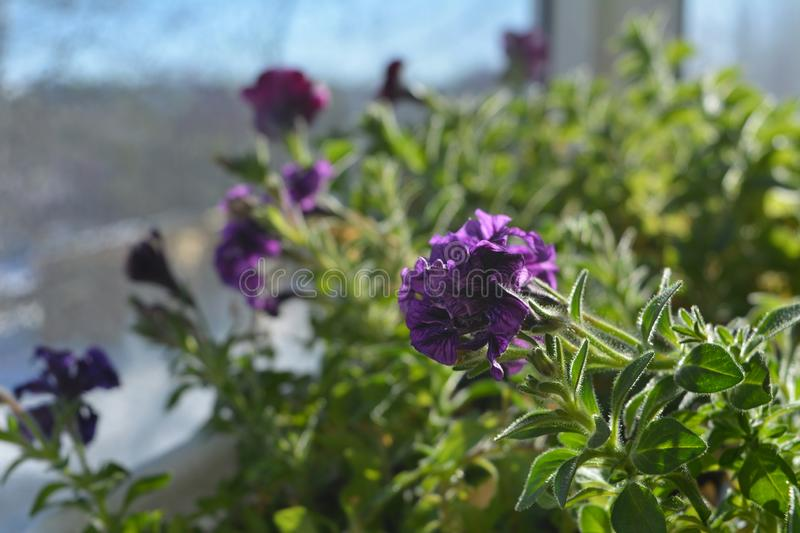 Flowering petunia hybrida. Balcony greening by blooming plants. Close up view.  royalty free stock image