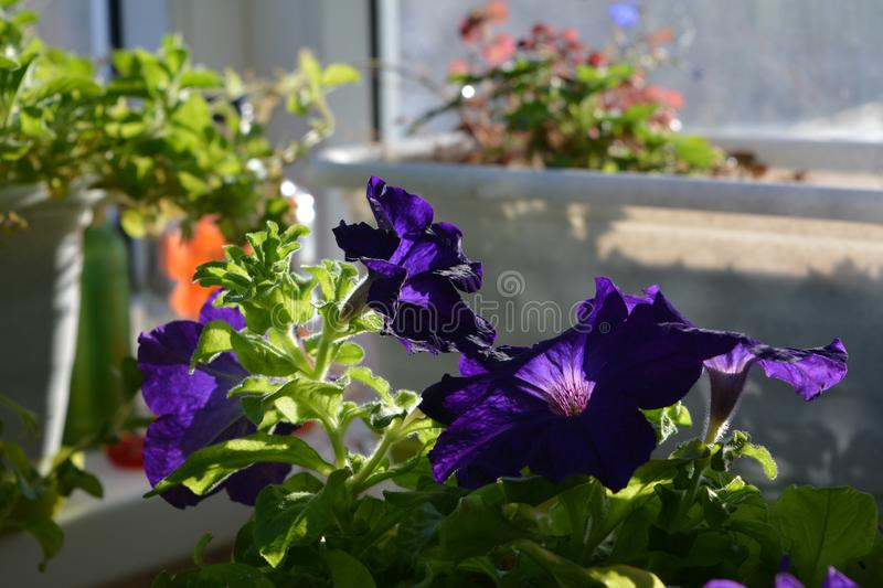 Flowering petunia in spring sunny day. Balcony greening with blooming plants.  royalty free stock photos