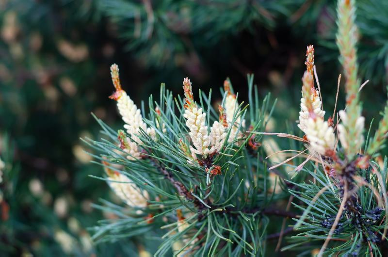 Flowering pine branches in the spring forest. royalty free stock image