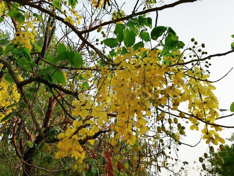Golden shower tree plant flower leaves Cassia fistula golden rain tree canafistula. Is a flowering plant in the family Fabaceae. The species is native to the royalty free stock photo