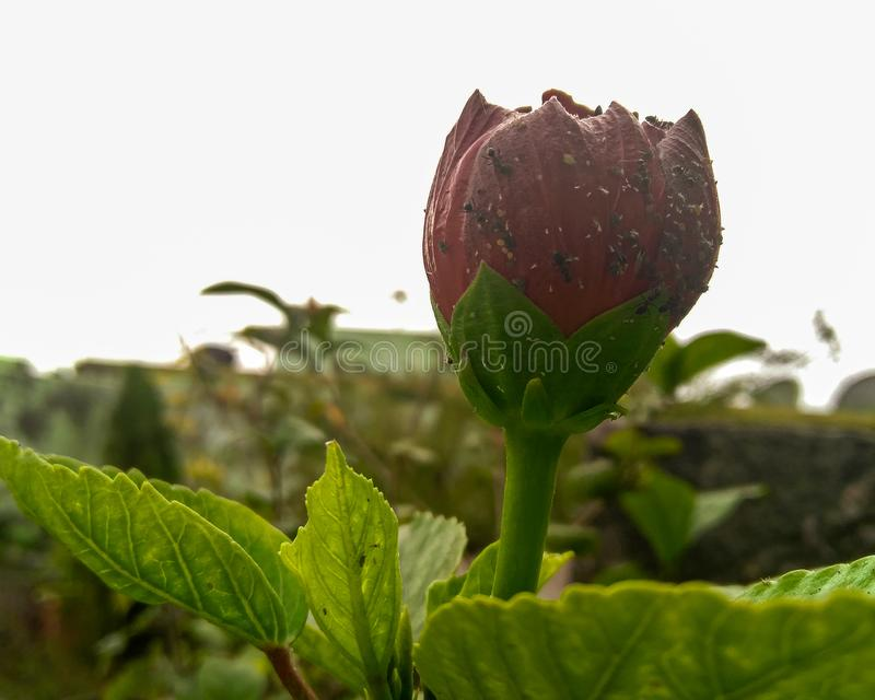 Flowering plant growing in the garden infected with small parasites, black ants and pests preying, damaging agricultural fields. Flowering plant growing in the royalty free stock photo