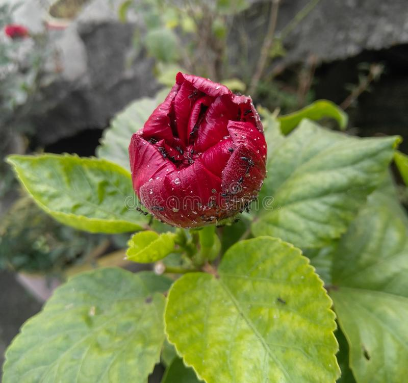 flowering plant growing in the garden infected with small parasites, pests preying and damaging agricultural fields stock photos