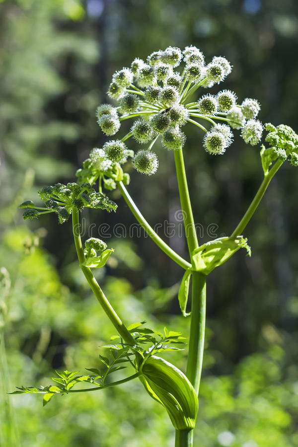 Flowering plant wild Angelica lat. Angelica sylvestris. Plant wild Angelica lat. Angelica sylvestris. Flowering plant closeup in the woods stock image