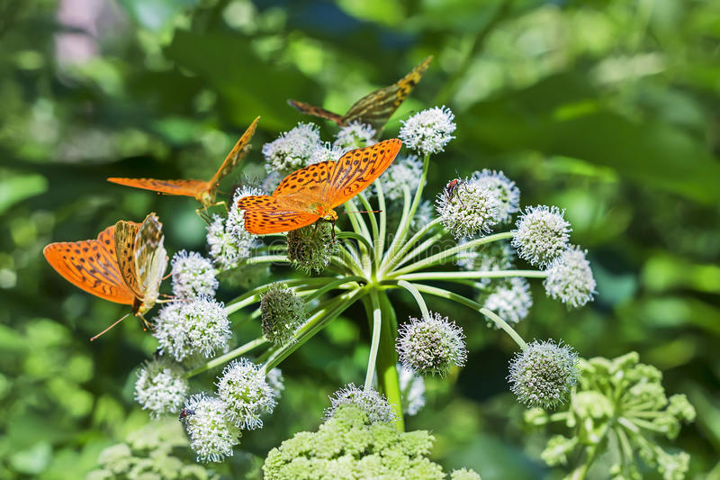 Flowering plant wild Angelica lat. Angelica sylvestris. A cluster of butterflies Perlamutrov lat. Argynnis paphia on the flower of Angelica lat. Angelica stock image
