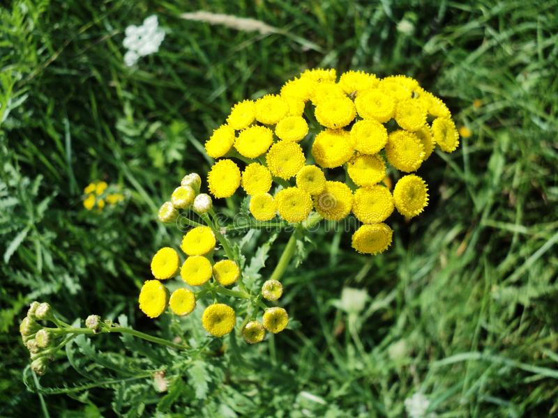 Flowering plant yellow tansy flower. Nature plant flower yellow tansy green grass summer flowering beautiful stock image
