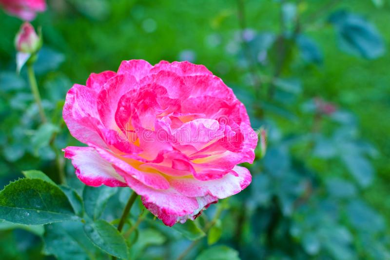 Pink rose opened its petals. Flowering plants fill my garden every summer royalty free stock photos