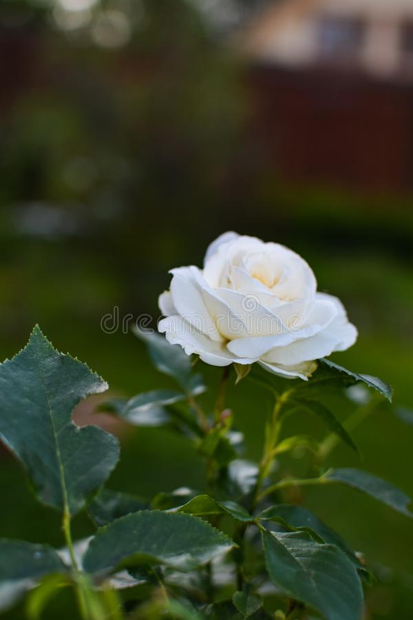White rose opened its petals. Flowering plants fill my garden every summer royalty free stock photos