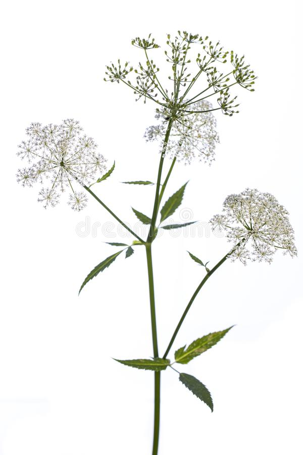 Medicinal plant from my garden: Aegopodium podagraria  ground elder  side view of stem, flowers and leafs isolated on white back stock photography