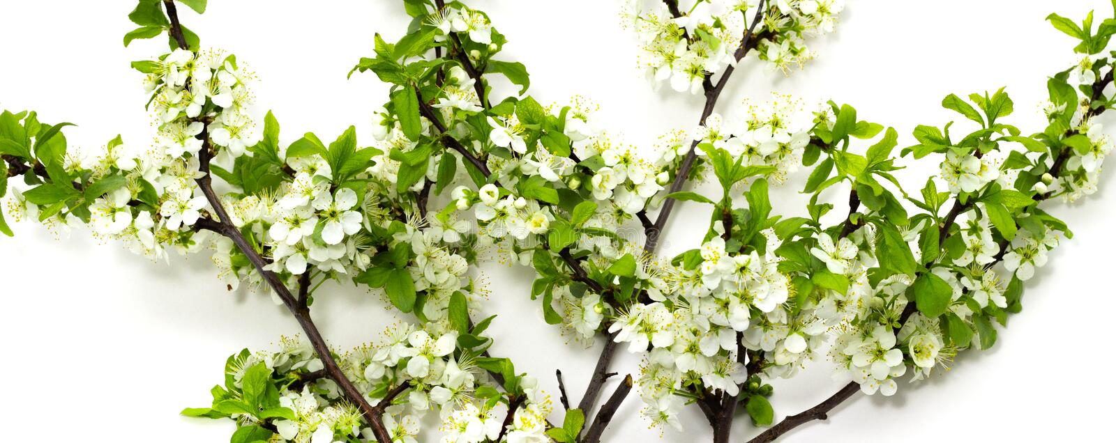 Flowering plum branches on a white background spring flowering of fruit trees royalty free stock photography