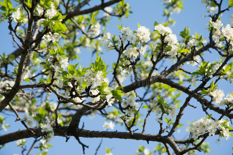 Flowering plum spring day in the garden stock images