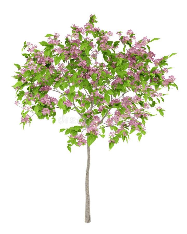 Flowering plum tree isolated on white royalty free illustration