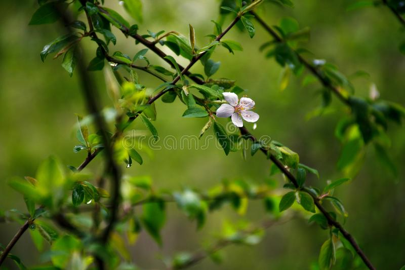 Flowering plum trees. The first spring flowers stock photos