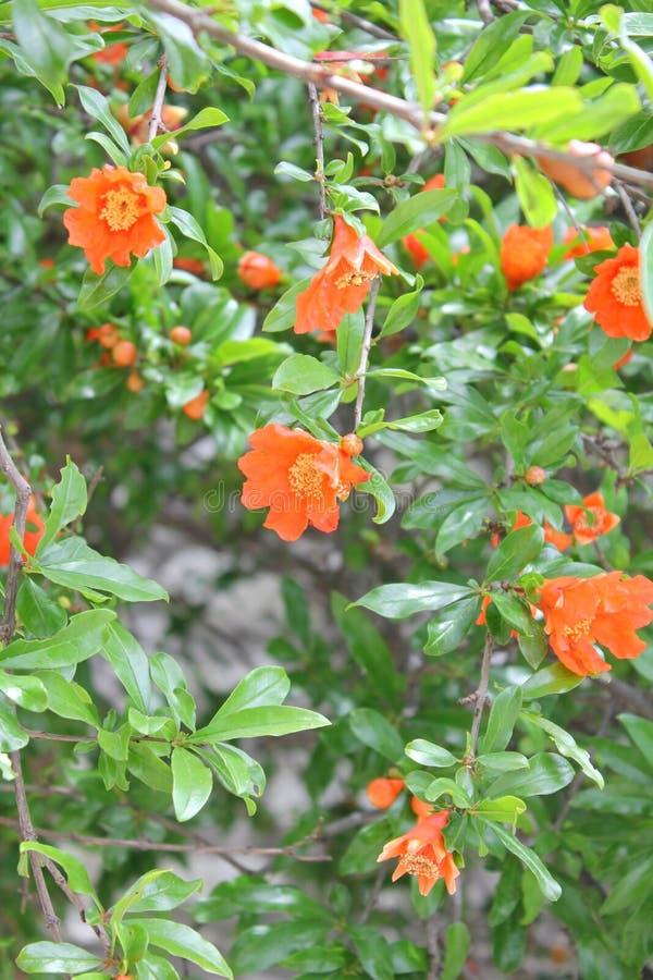 Flowering pomegranate tree stock photo