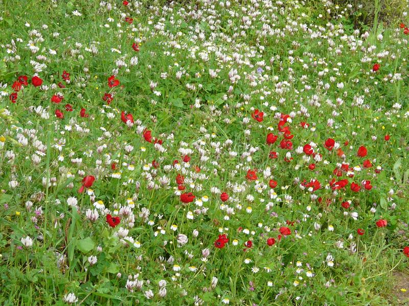 Flowering poppies in a meadow on a bright sunny day. Happy mood. Red poppies and white summer flowers in green grass, illuminated by the bright summer sun stock photos