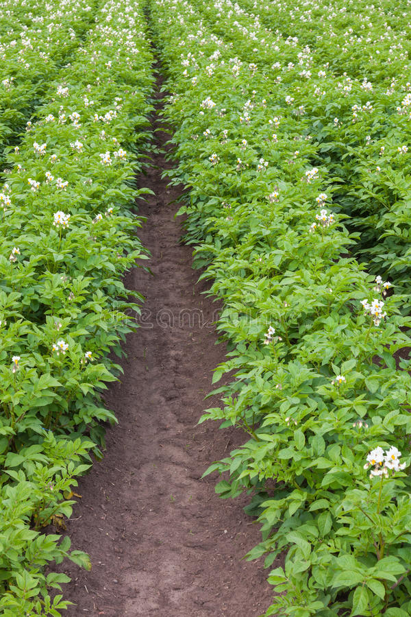 Flowering potato field stock photo
