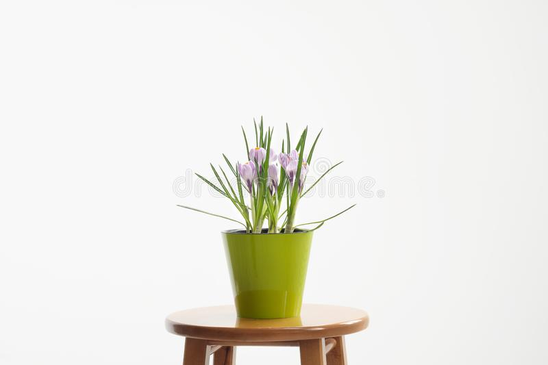 A flowering potted crocus plant in a green pot on a white background. stock photos