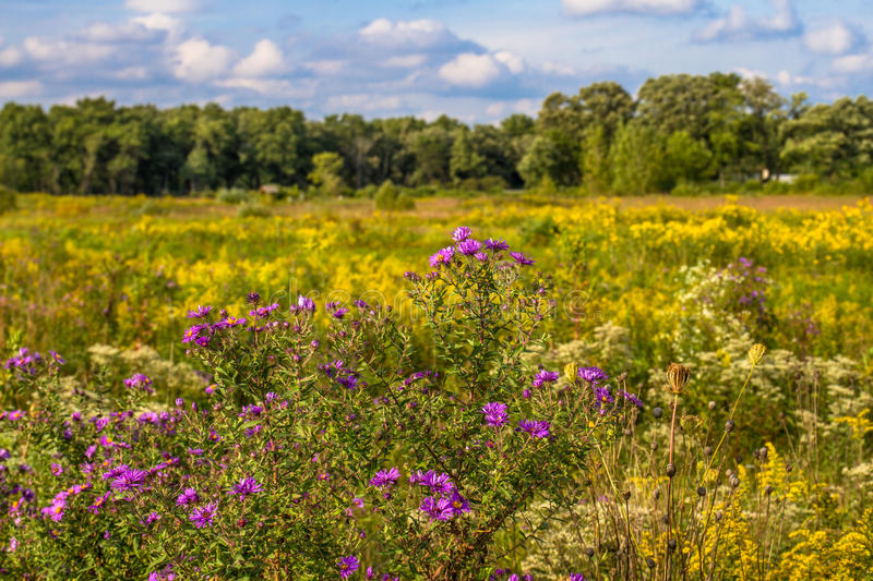 Flowering prairie at Middlefork Savanna, Lake County, Illinois, USA. New England Asters and Goldenrod in the prairie at Middlefork Savanna in Lake County stock photography