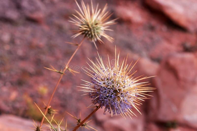 Flowering prickly plant in dry desert sand. Flowering prickly plant in dry desert sand Wadi Rum in Jordan royalty free stock photos