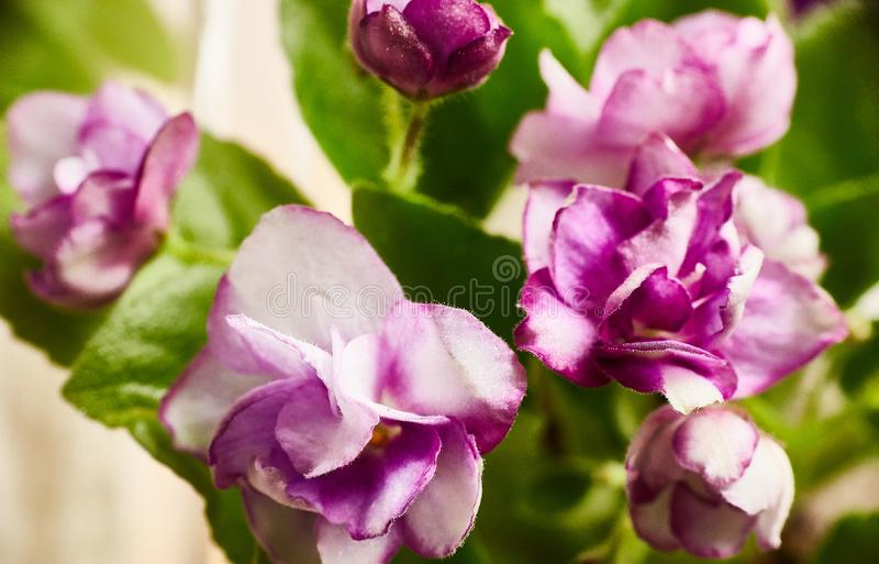 Flowering purple African violet. Saintpaulia. Selective focus.  stock photo