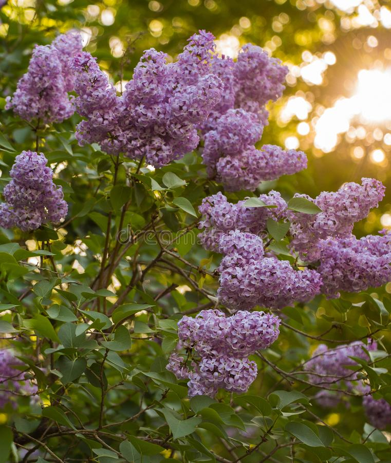 Flowering purple lilac hedge, Syringa Vulgaris, with Bright Warm Light in Distance. Flowering purple lilacs hedge, Syringa Vulgaris, with selective focus and stock photos