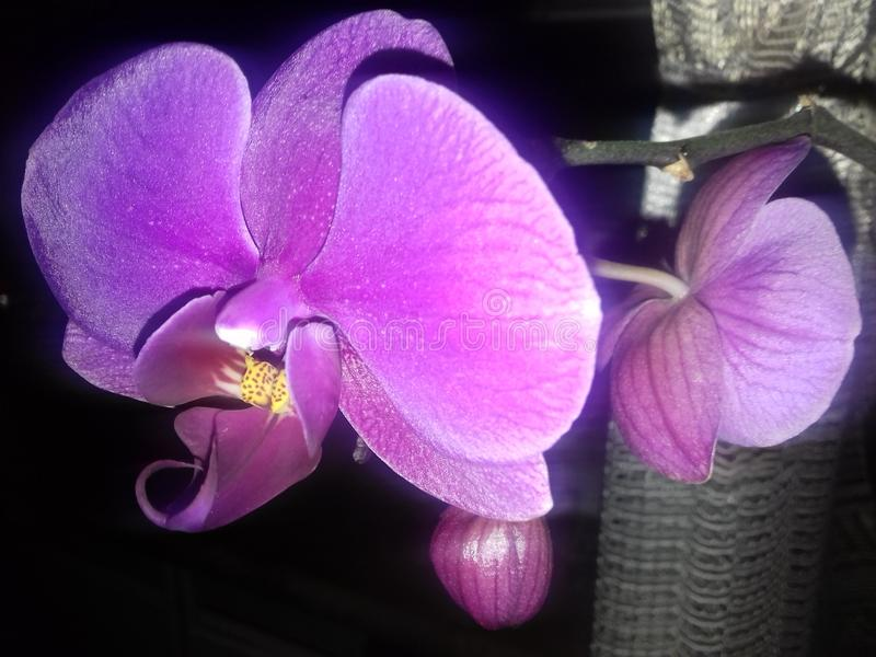Flowering of purple orchid. In winter. Picture in a bright flash stock images