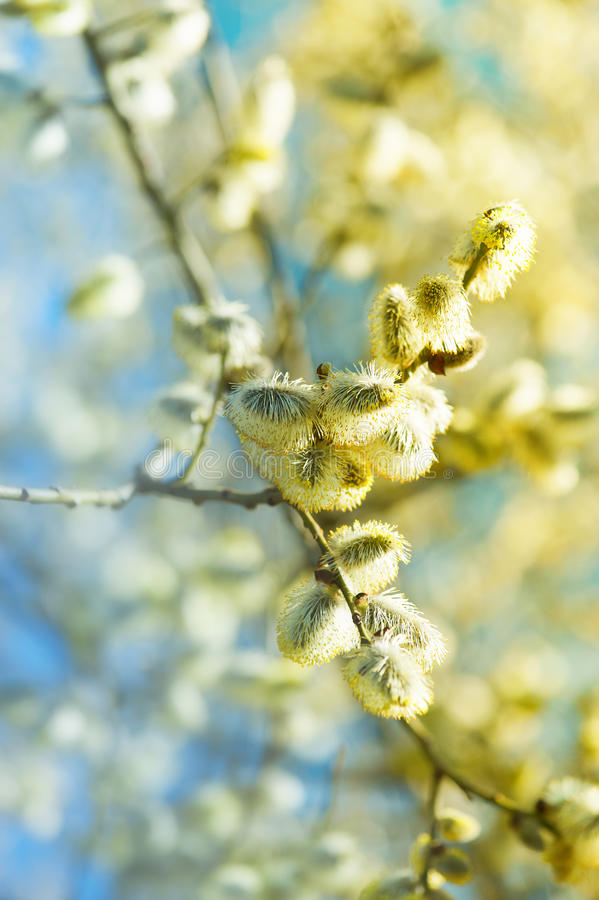 Flowering Willow royalty free stock photo