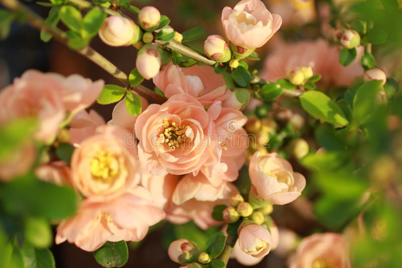Download Flowering Quince stock photo. Image of specimen, point - 18856928