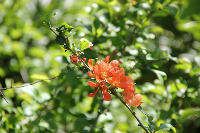 Flowering quince royalty free stock images