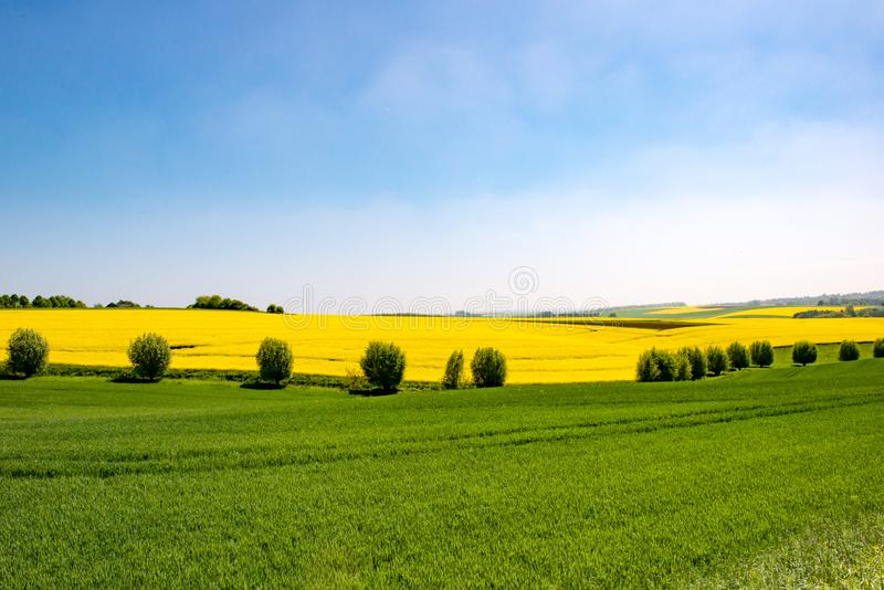 Flowering rape field and willows, canola fields framed by trees royalty free stock photography