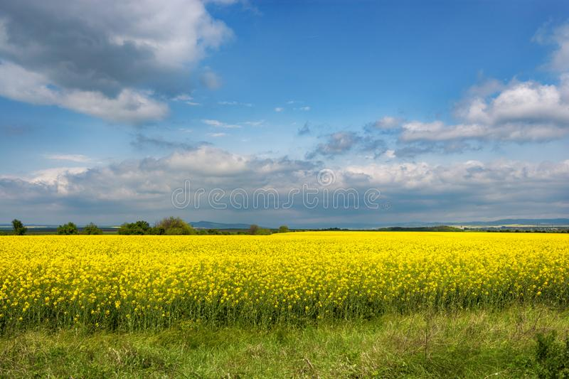 Flowering plants against blue sky . Raw material for animal feed, rapeseed oil and bio fuel; stock photo
