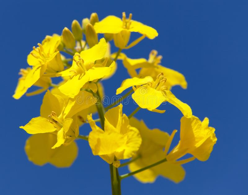 Flowering rapeseed canola or colza. Detail of flowering rapeseed canola or colza in latin Brassica Napus, plant for green energy and oil industry, seed on blue royalty free stock image