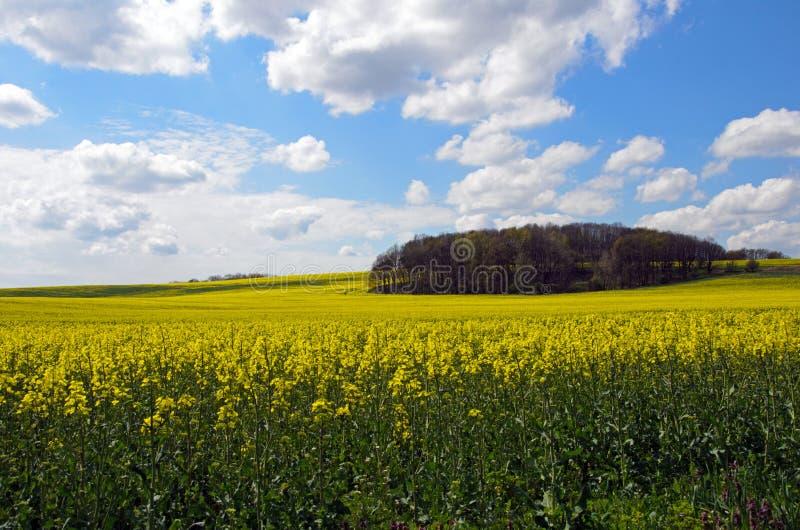 Flowering rapeseed field royalty free stock image