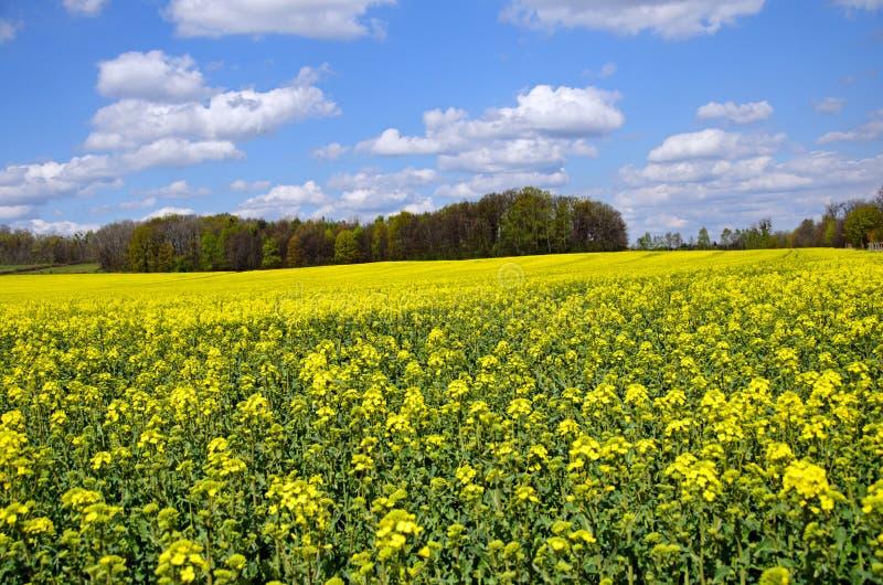 Flowering rapeseed field royalty free stock photos