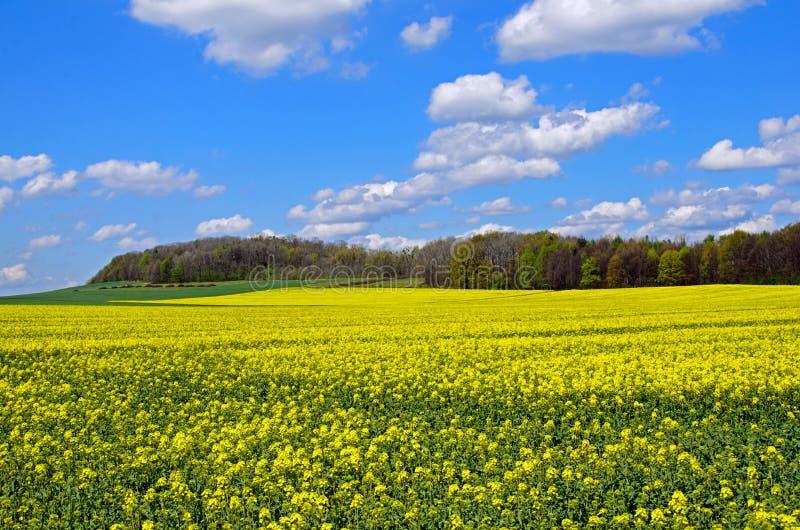 Flowering rapeseed field stock photos