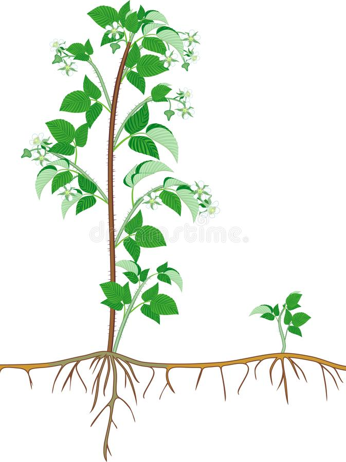 Flowering raspberry shrub with green leaves and root system vector illustration