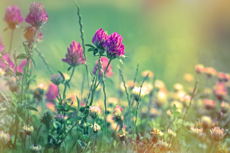 Flowering of red clover - closeup stock photo