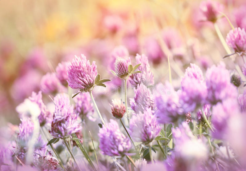 Flowering red clover in meadow royalty free stock image