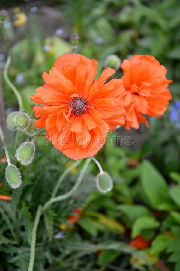 Flowering Red poppy Papaver L., Large Plan.  stock images