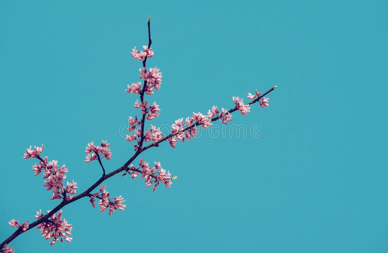 Flowering redbud tree branch in spring royalty free stock photo