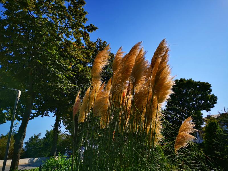 Flowering reed in the breeze. Next to an alley with lime trees royalty free stock photo