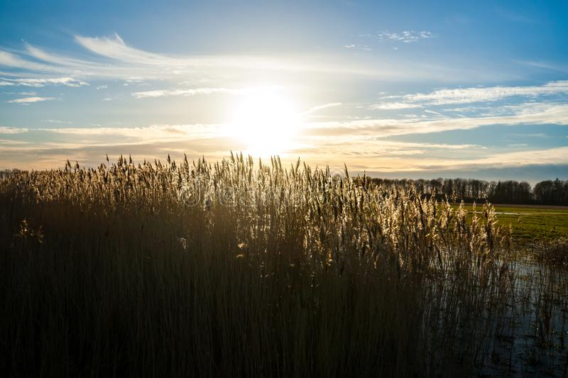 Flowering reed grass plume, with sunny background royalty free stock photography