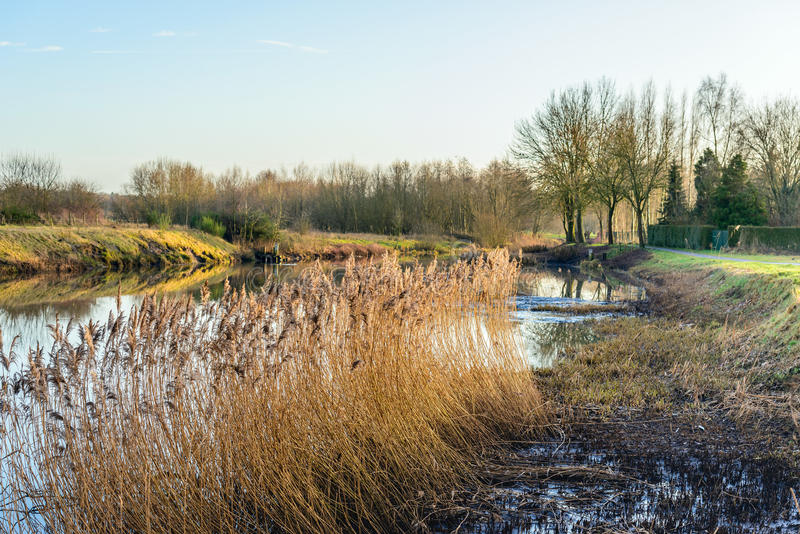 Flowering reeds on the marshy banks of a river stock photos