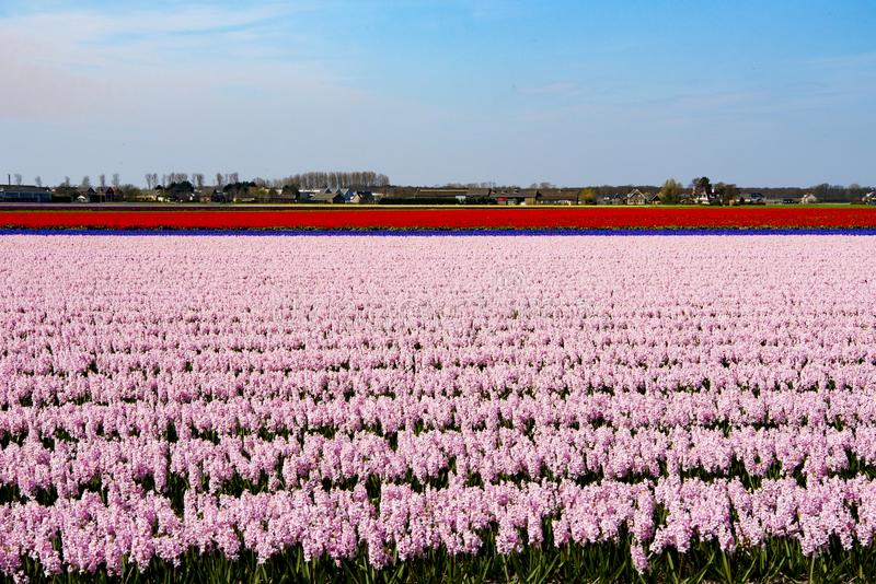 Flowering colorful hyacinth and tulip fields stock photo