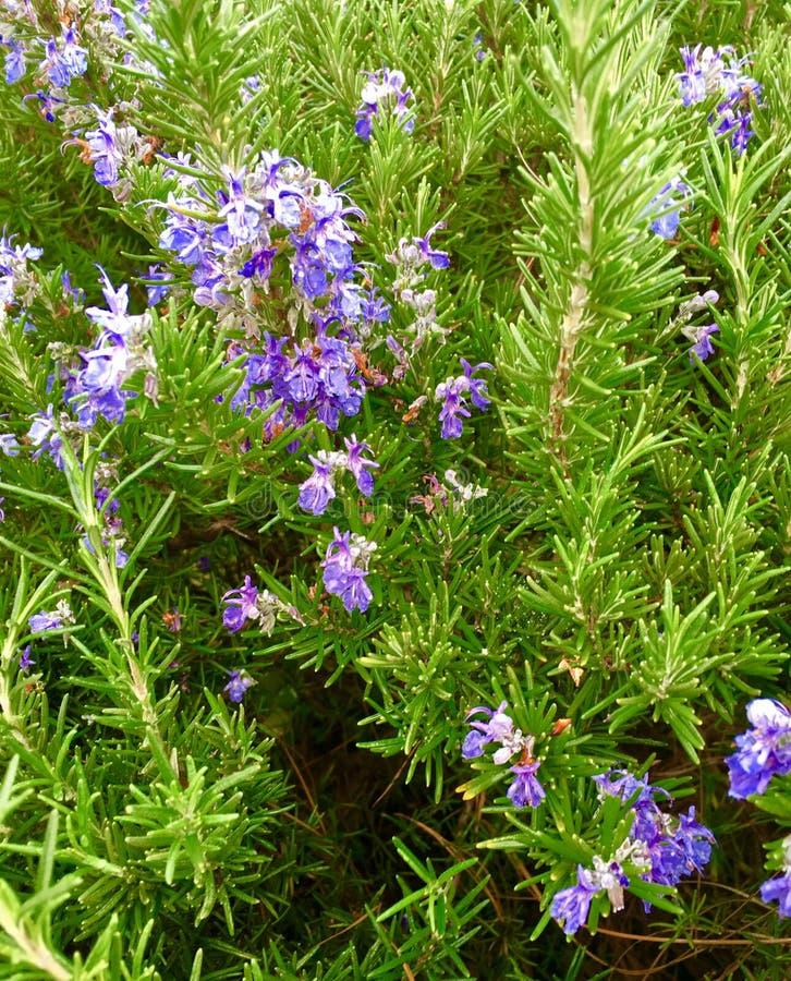 Flowering Rosemary. Bright tiny blue flowers adorn wild rosemary stock image