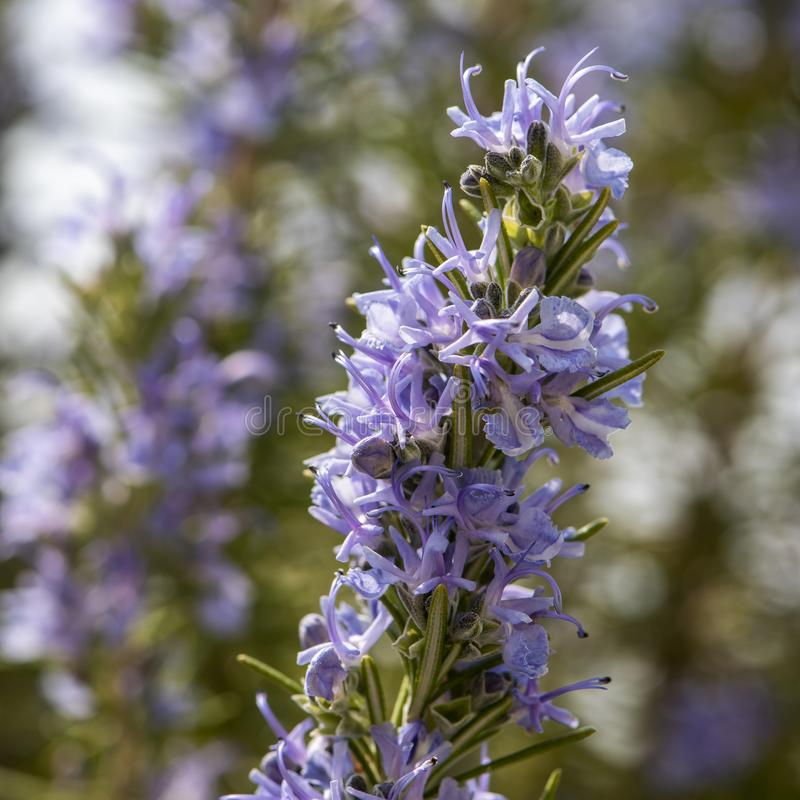 Flowering rosemary twig royalty free stock images
