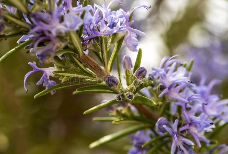 Flowering rosemary twig royalty free stock image