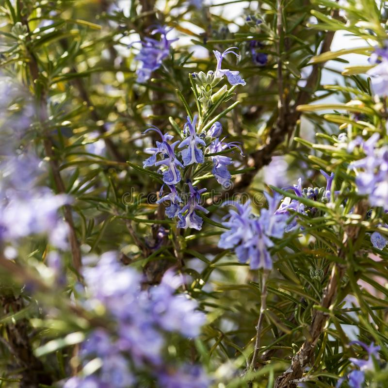 Flowering rosemary twig stock photography